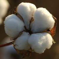 Raw Cotton (comber Noil)