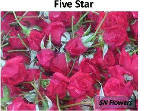 Five Star Rose