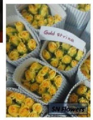 Gold Strike Cut Rose