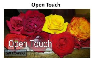 Open Touch Rose