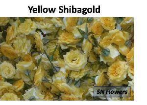 Yellow Shibagold Rose