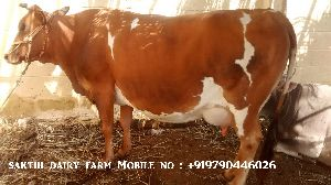Hf Jersey Cow Supplier