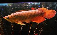 A Grade Super Red Arowana Fishes