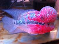 Super Red Dragon Flowerhorn Fishes