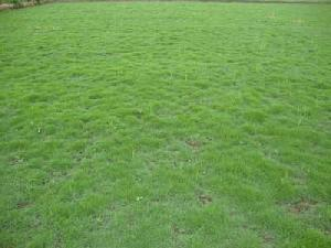 Mexican Lawn Grass