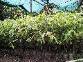 agar small plants