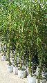 buddha belly bamboo plant