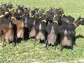 Healthy Boar Goats, For Sale