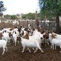 Live Boar Goats