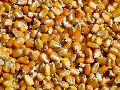 Natural Corn Seeds