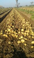 Pukharaj potato