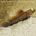 Blue Spot Shrimp Goby fish