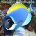 Maldives Powder Blue Tang fish