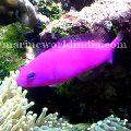 Purple Dottyback fish