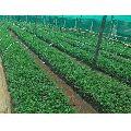 Malbar Neem Plant