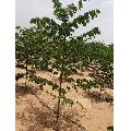 Malabar Neem Tree