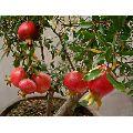 Pomegranate Plant
