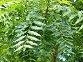Natural Neem Leaves