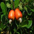 Healthy African Raw cashew nuts