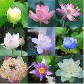 Organic Lotus Flower