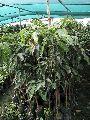 Mango Amropali Plant