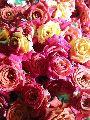 Button rose ( Lucky )