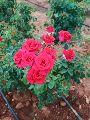 Button Roses ( Merabul )