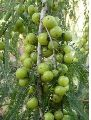 Fresh Organic Amla