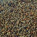 Pure Sesbania Seeds
