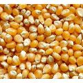 Natural Maize Seeds