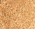 Premium Wheat Seeds