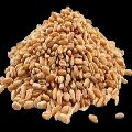 Sortex Clean Wheat Seeds