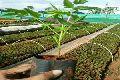malabar neem plants( melia dubia)