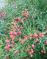 Organic Shatavari Seeds