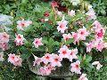 Brazilian Jasmine Plant