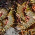 tiger shrimp aquaculture farming tanks