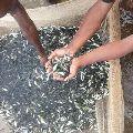 Catla Fish Seeds
