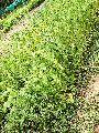 Assam Lemon Plant