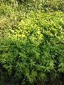 Dendrocalamus Strictus Bamboo Plant