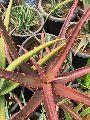 Red Aloe Vera Plant