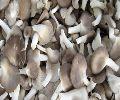 Fresh Sajar kaju Oyster Mushrooms