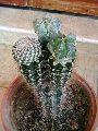 Cactus Astrophytum plant