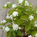 Jasminum Sambac plant