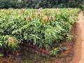 Mango Lengra Plant