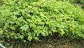 Star Gooseberry Plant
