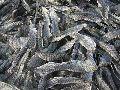 Tilapia Fish Seeds
