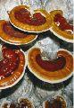 Fresh Ganoderma Mushroom