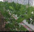 Fresh Green Leafy Lettuce
