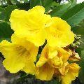 Tecoma Plant