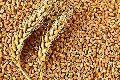 Organic Wheat Grains